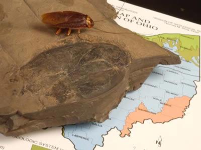 cucaracha_fosil
