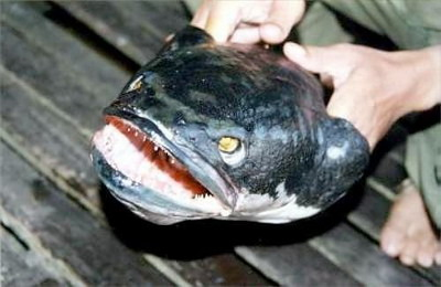 great_snakehead_fish
