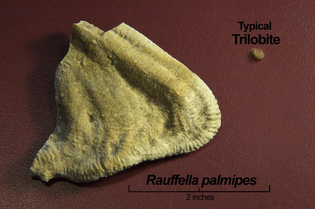 rauffella_palmipes